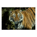 Print: Malayan Tiger