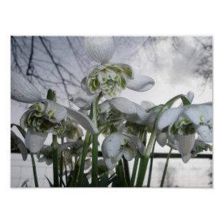 Print or Poster of Snowdrop Photograph