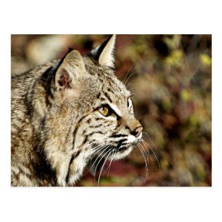 Profile of a Bobcat Postcard