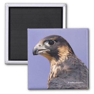 Profile of a Juvenile Peregrine Falcon Square Magnet