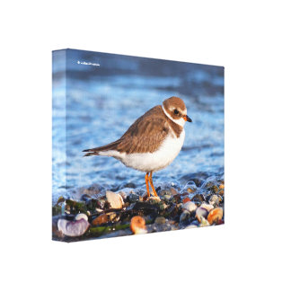 Profile of a Semipalmated Plover Gallery Wrapped Canvas