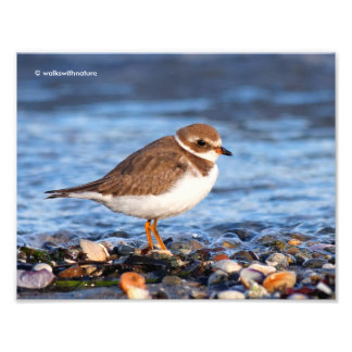 Profile of a Semipalmated Plover Photo Print
