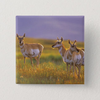 Pronghorn Antelope in Montana 15 Cm Square Badge