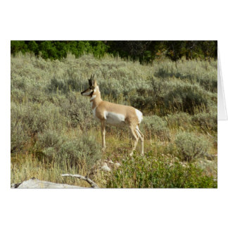 Pronghorn at Grand Teton National Park Card