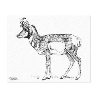 Pronghorn Stretched Canvas Print