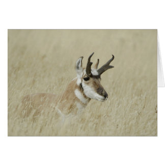 Pronghorn male resting, Yellowstone NP,Wyoming Card
