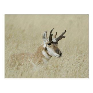 Pronghorn male resting, Yellowstone NP,Wyoming Postcard
