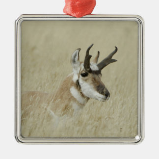Pronghorn male resting, Yellowstone NP,Wyoming Silver-Colored Square Decoration
