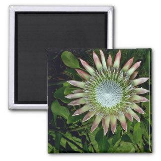 Protea Bloom - Maui flowers Square Magnet