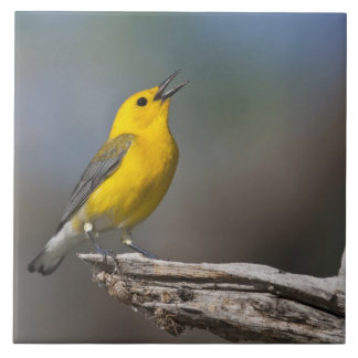 Prothonotary Warbler adult male in spring, Texas 2 Large Square Tile