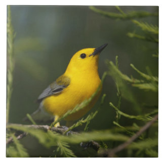 Prothonotary Warbler adult male in spring, Texas Large Square Tile
