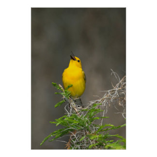 Prothonotary Warbler (Prothonotaria Citrea) Male Poster
