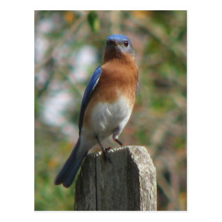 Proud Bluebird Postcard