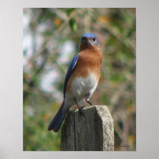 Proud Bluebird Poster