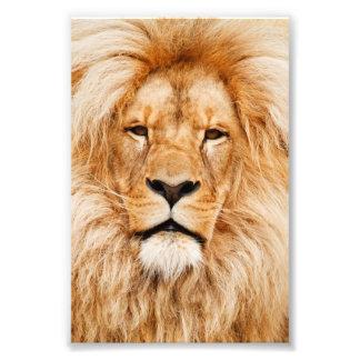 Proud Lion Portrait Photo
