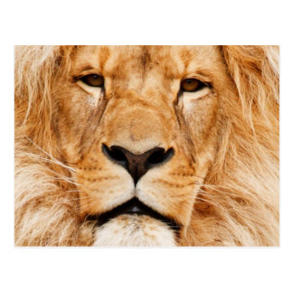 Proud Lion Portrait Postcard