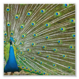 Proud Peacock Feathers Photo