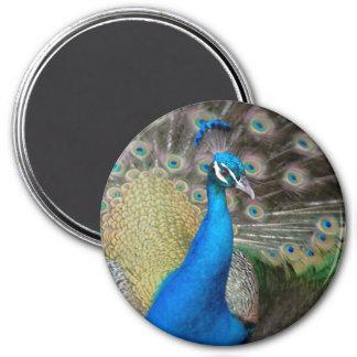 Proud Peacock Magnet
