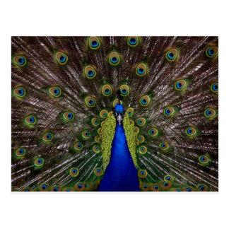 Proud Peacock Postcard