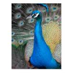 Proud Peacock Postcards