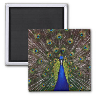 Proud Peacock Square Magnet