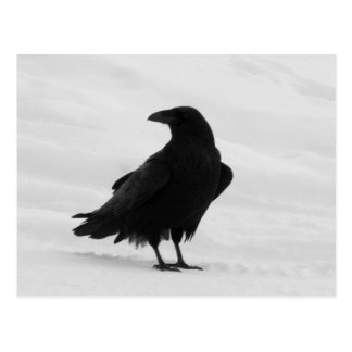 Proud Raven Postcard