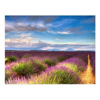 Provence - Lavender fields postcard