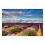 Provence - Lavender fields poster