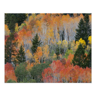 Provo River and aspen trees 11 Poster