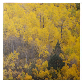 Provo River and aspen trees 12 Tile