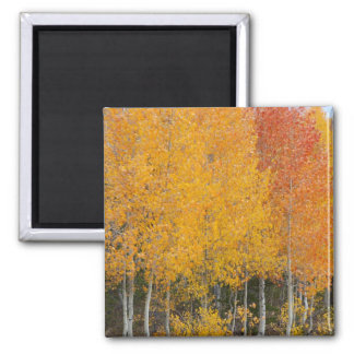 Provo River and aspen trees 13 Magnet