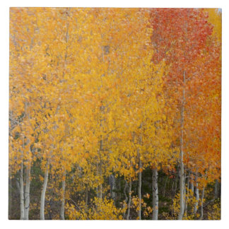Provo River and aspen trees 13 Tile