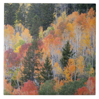Provo River and aspen trees 4 Tile