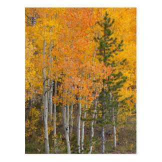 Provo River and aspen trees 7 Postcard