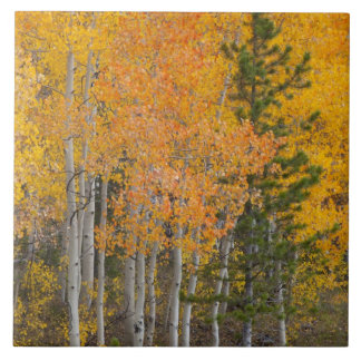 Provo River and aspen trees 7 Tile