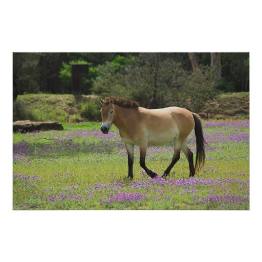 Przewalskii Horse Posters