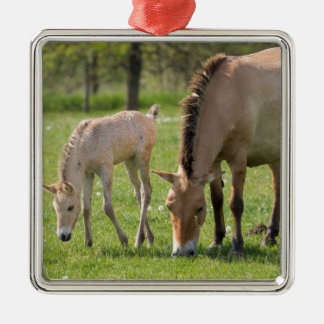 Przewalski's Horse and foal grazing Silver-Colored Square Decoration