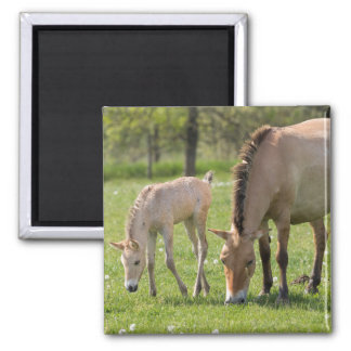 Przewalski's Horse and foal grazing Square Magnet