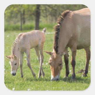 Przewalski's Horse and foal grazing Square Sticker