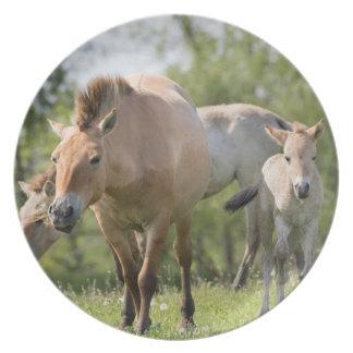 Przewalski's Horse and foal walking Plate