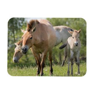 Przewalski's Horse and foal walking Rectangular Photo Magnet