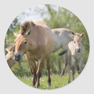 Przewalski's Horse and foal walking Round Sticker