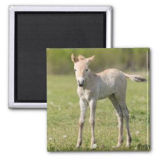 Przewalski's Horse foal, Hungary Magnet