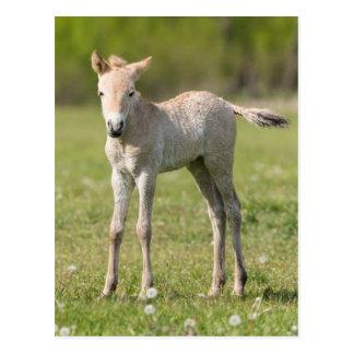 Przewalski's Horse foal, Hungary Postcard