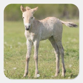 Przewalski's Horse foal, Hungary Square Sticker