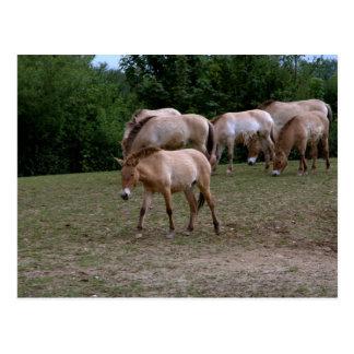 Przewalski's horses postcard