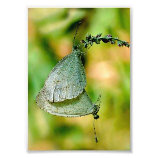 Psyche Leptosia Nina Butterflies Mating Art Photo