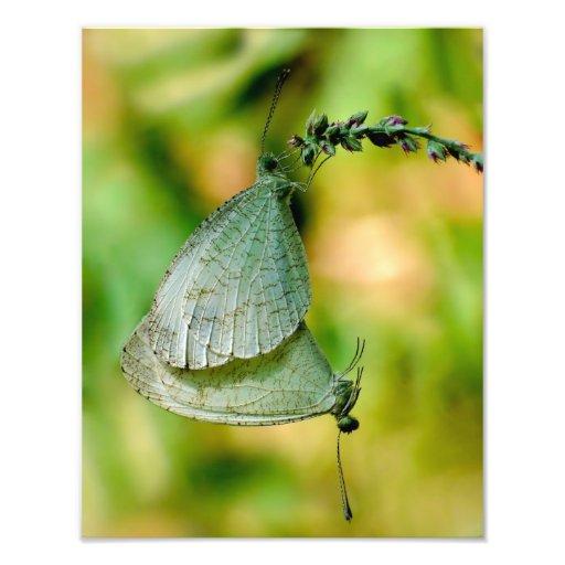 Psyche Leptosia Nina Butterflies Mating Photo Print
