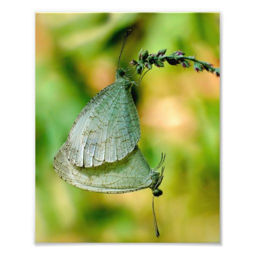 Psyche Leptosia Nina Butterflies Mating Photo