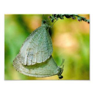 Psyche Leptosia Nina Butterflies Mating Photograph